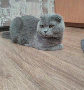 Вязка.Шотландский кот