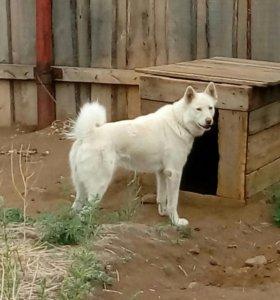 Восточно-Сибирская лайка (вязка ,щенки)