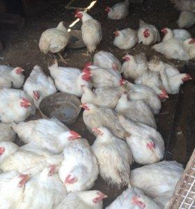 Мясо цыпленка бройлера