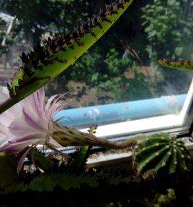 Цветутущие кактусы