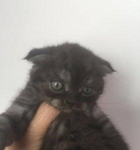 Шотландский котёнок.2.5 месяца