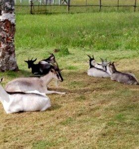 Козы дойные и козлята