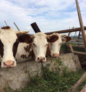 Продам 3х годовалых дойных коров .