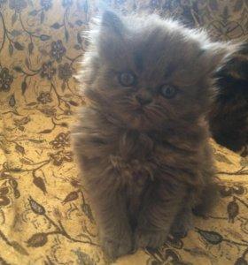 Продам персидских котят:)