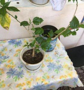 Продам 2 китайских Розы