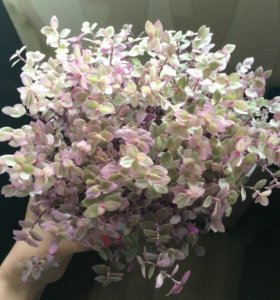 Каллизия редкое растение
