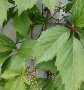 Саженцы дикого виногада
