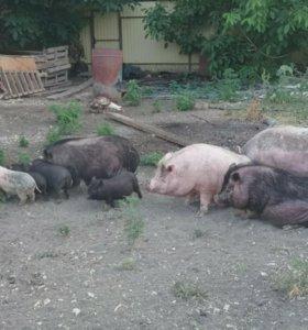 Свиньи вьетнамский