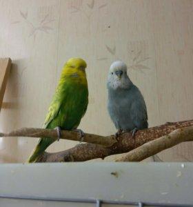 Выставочнвй волнистый попугай