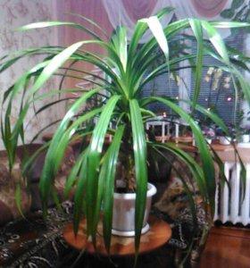 Панданус (винтовая пальма)