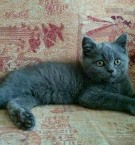 Котик британский