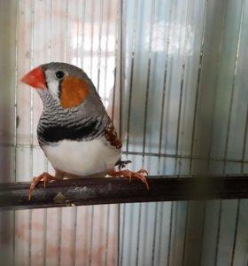 Амадина японская и попугаи волнистые
