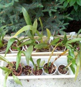 Орхидеи онцидиумы,камбрии,зиги