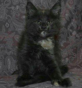 Кошка Мэйн-кун