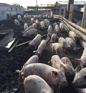 Продам свинок на мясо .