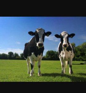 Продаю корову,телок,телят...