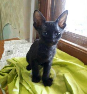 Кошка Канадский сфинкс велюровая черная.