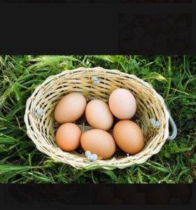 Яйца/яйцо/яички  куриные домашние