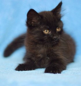 Чёрный котёнок, мальчик
