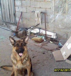 немецкие щенята