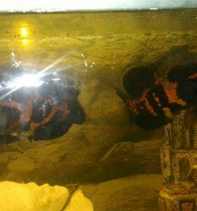 Аквариумные рыбки(астранотусы)