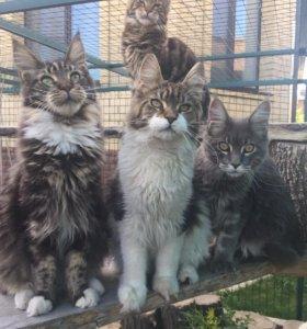 мейн куны: котята и взрослые
