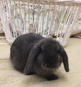 Кролик породы вислоухий баран