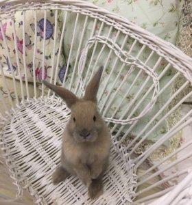 Кролики породы вислоухий баран