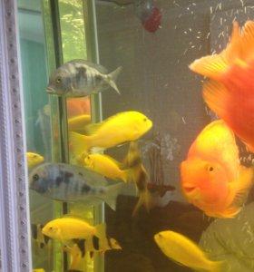 Продам аквариумных рыбок лабидохрол