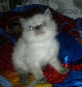 Котенок мальчик Экзот