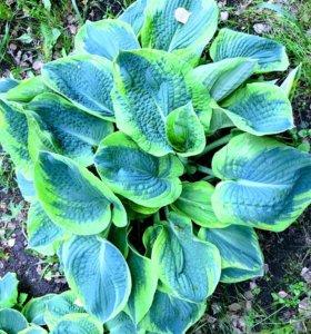 Хоста с голубыми листьями