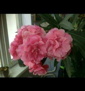 Олеандр розовый махровый.