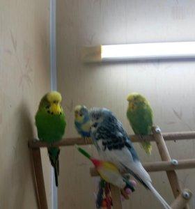 Чехи и волистые попугаи