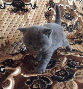 Продам породистых британских котят