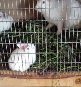 Кролики мясных пород.
