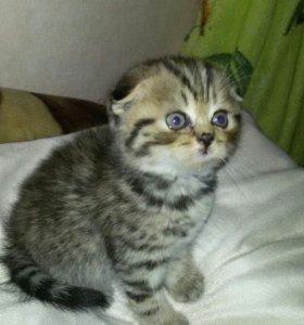 Продаются породистые шотландские котята.