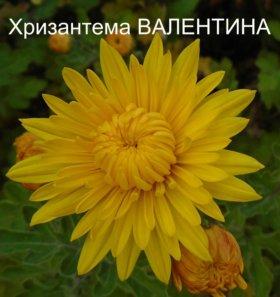 """Хризантема махровая желтая """"Валентина"""""""