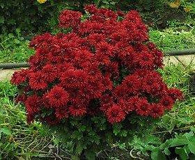 Хризантема махровая рубиновая