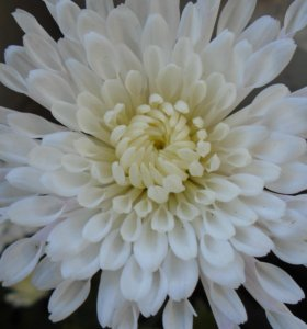"""Хризантема шаровидная белая """"Нежность"""""""