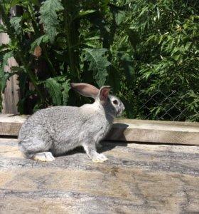 Кролики шиншиллы