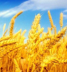Пшеница и дробленная пшеница