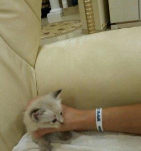 Тайские котята девочки с голубыми глазами.