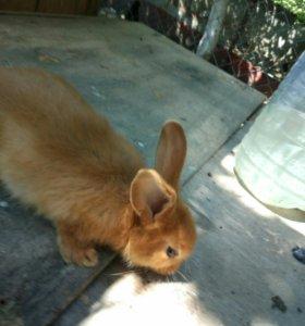 Продаю кроликов породы нзк