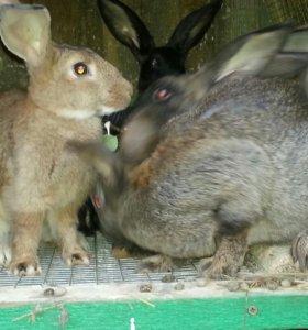 Крольчата Ризен.