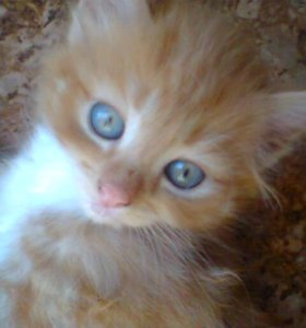 котята от ласковой домашней кошки