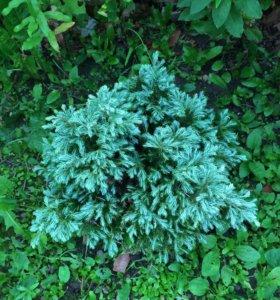 Хвойники, растения