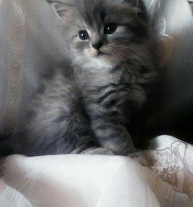 Британский котик.