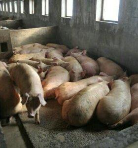 Свиньи,поросята 5-120кг