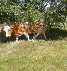 Корова 5 отел срочна