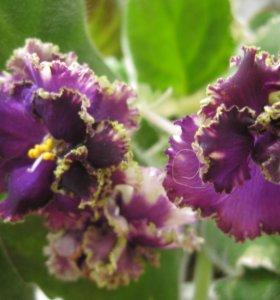 фиалочки (сенполии) цветущие
